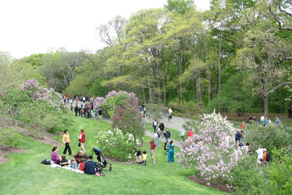 Lilac Sunday at the Arnold Arboretum